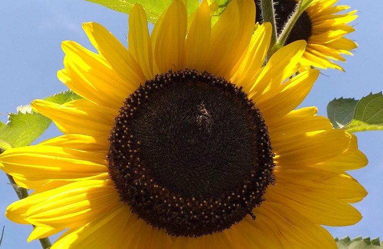 Sonnenblumenblüte macht Mut